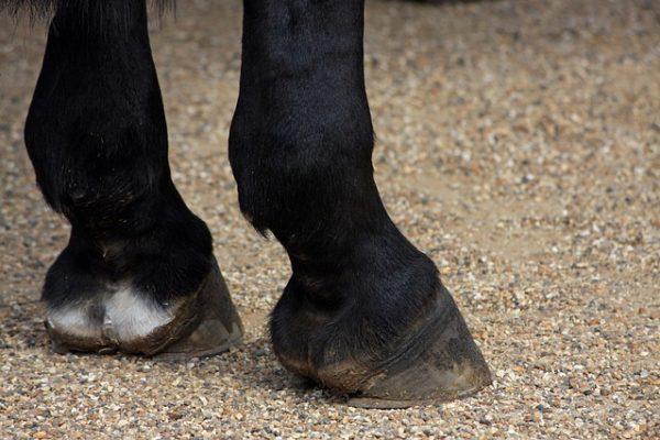 Comment réaliser efficacement l'entretien des sabots d'un cheval ?