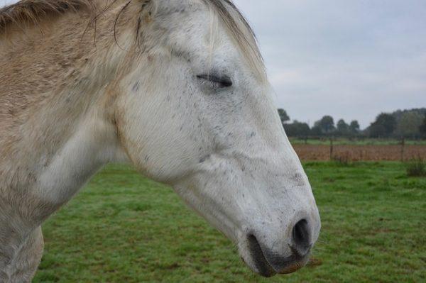Comment dorment les chevaux : Un cheval dort allongé ou debout ?