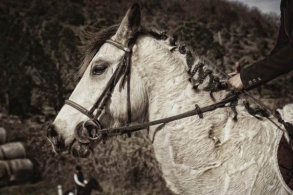 Cheval Connemara : Histoire et caractéristiques de cette race de poney