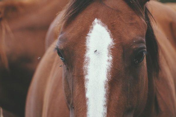 Répulsif anti-mouche naturel pour chevaux : La recette maison
