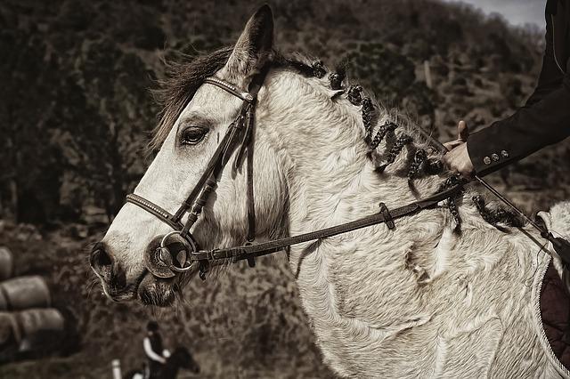 poney connemara dans un champs
