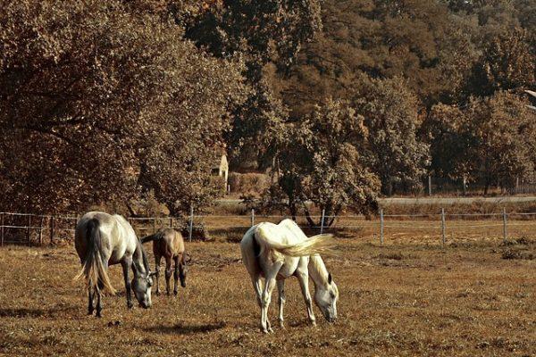Paddock cheval : Définition, types, pâtures, clôtures et équipements